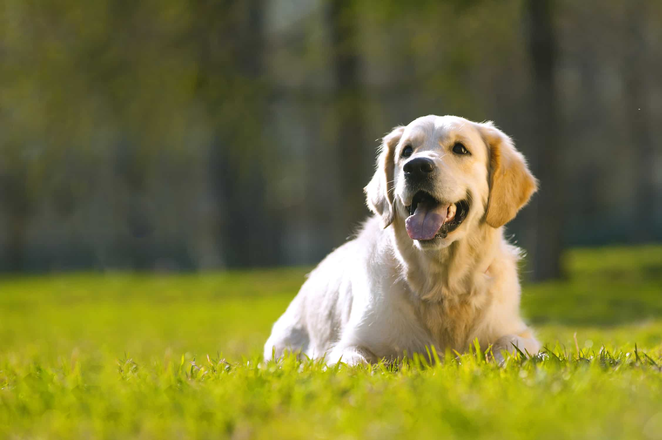 yellow labrador retriever laying down in grass field with mouth open and tongue out